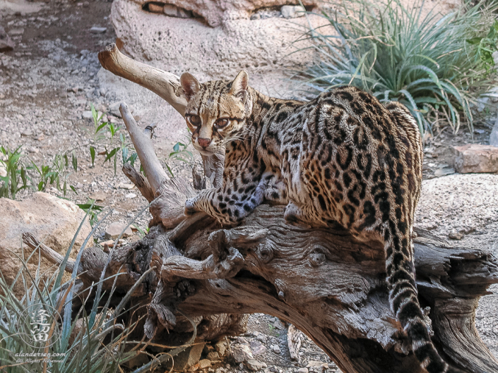 Spotted ocelot (Leopardus pardalis) laying on log gazing at viewer.