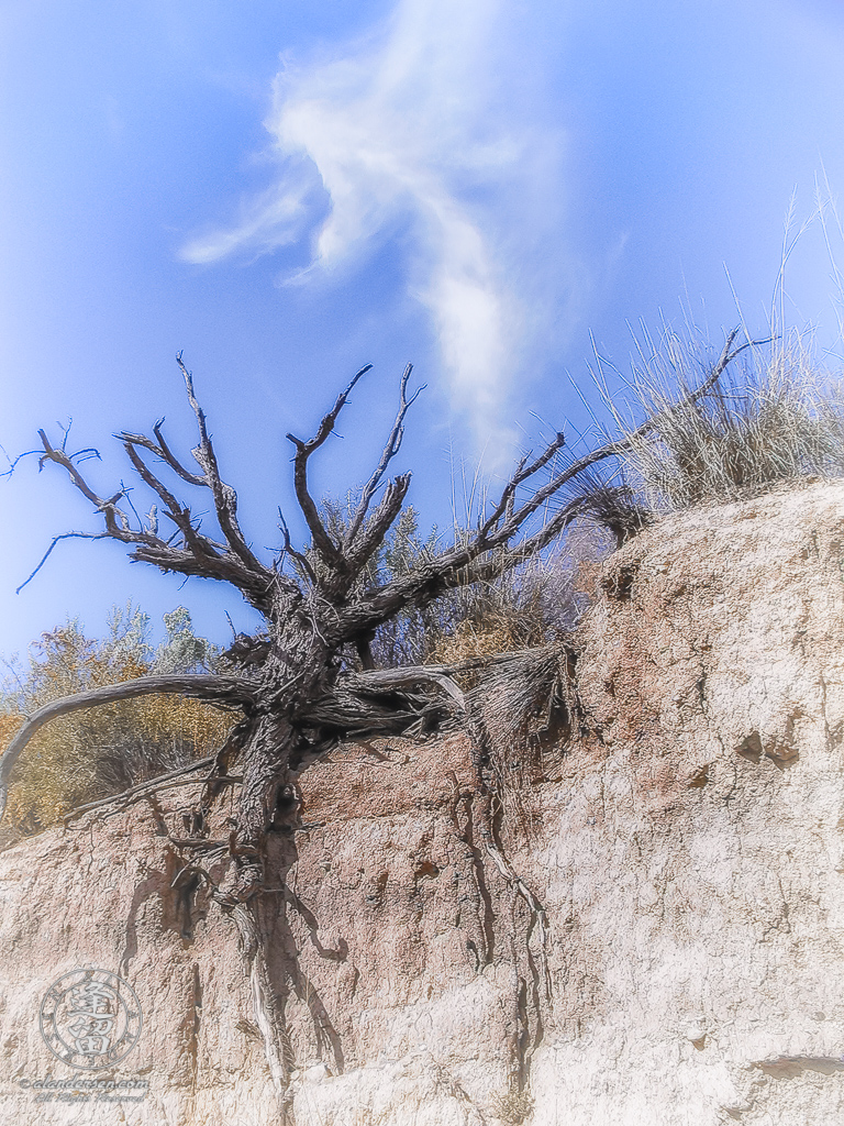 Mesquite tree clings tenaciously to side of dirt cliff.