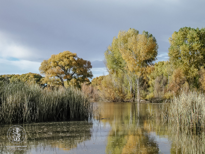 Cottonwood trees changing color by pond.
