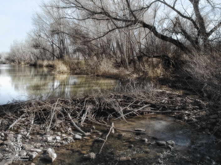 Beaver dam on San Pedro River in Southeastern Arizona.