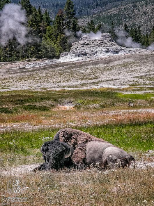 American Bison (Bison bison) laying in dirt spot before smoldering Castle Geyser.