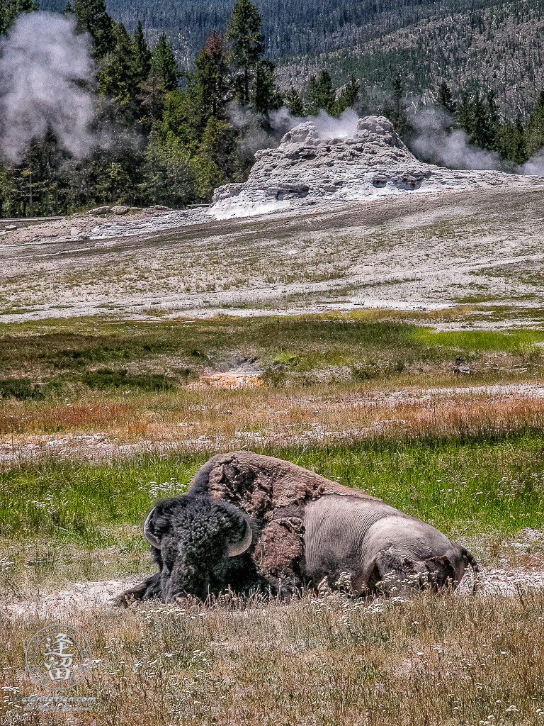 American Bison (Bison bison) laying in dirt spot before smoldering Castle Geyser.