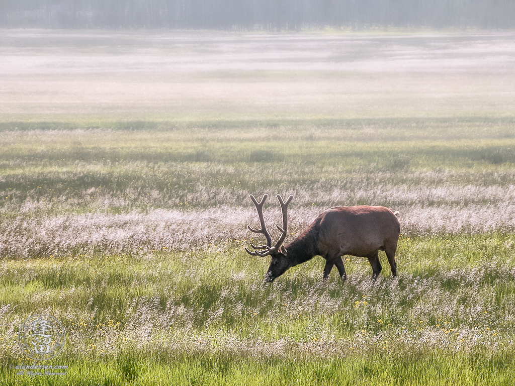 Male Elk (Cervus canadensis) grazing peacefully in a misty meadow.