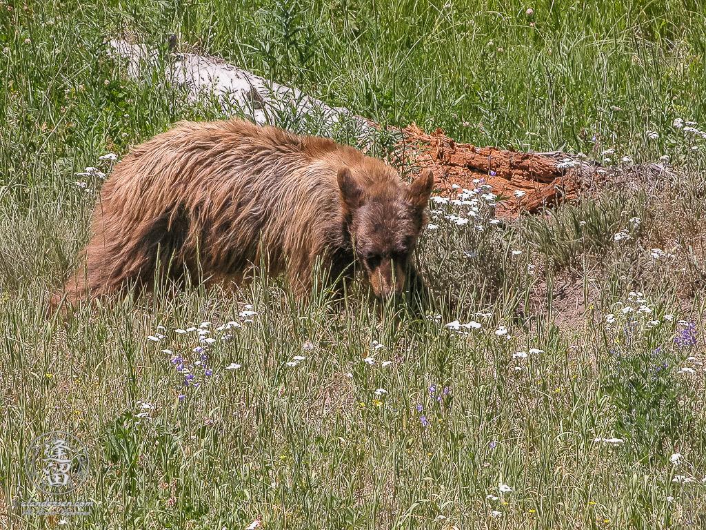 Black Bear (Ursus americanus) rooting for morsels.