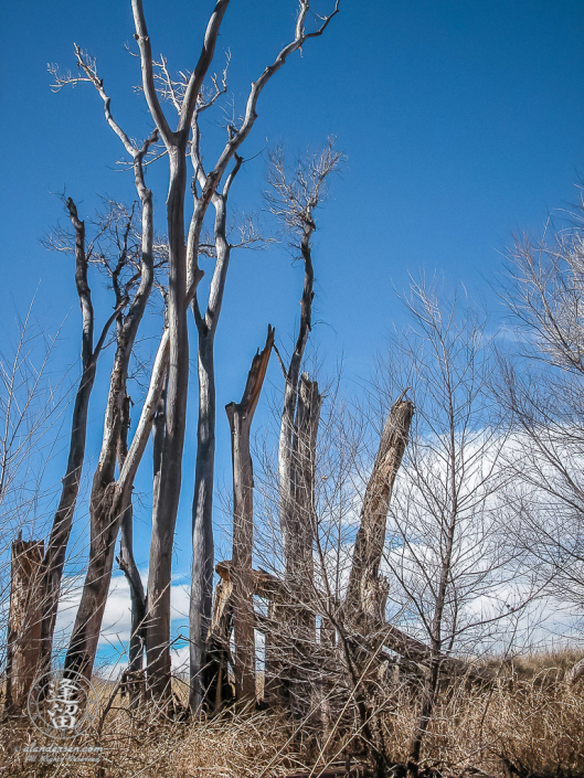 Cottonwood saplings framing skeletal remains of ancestors.