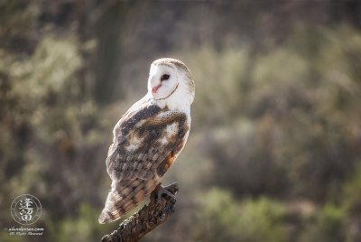 Barn Owl (Tyto alba) perched on cholla branch.