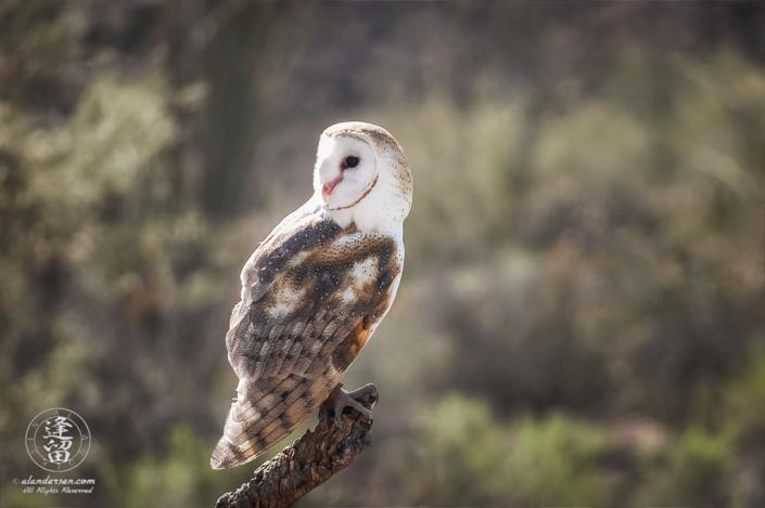 Barn Owl (Tyto alba) perched on cholla branch.