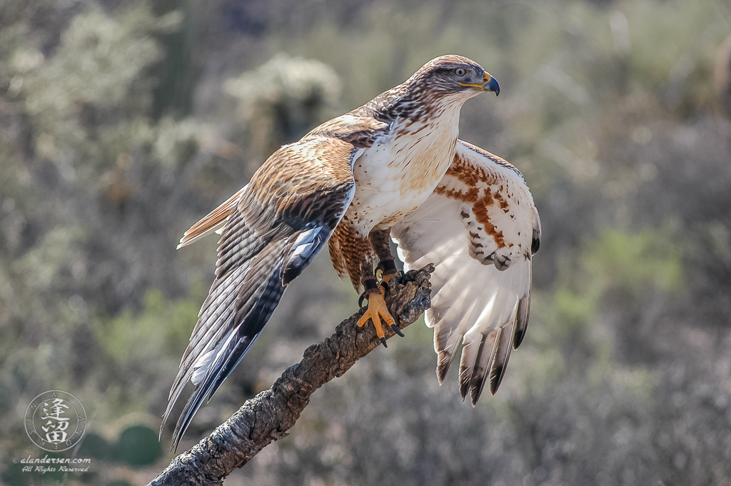 Ferruginous Hawk (Buteo regalis) perched on limb with wings spread.