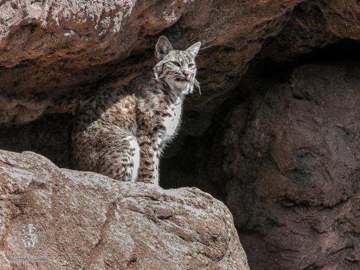Bobcat (Lynx rufus) sitting in bright sunlight on rock ledge.