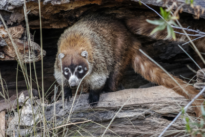 White-nosed Coati (Nasua narica) standing at the edge of hollowed out log.
