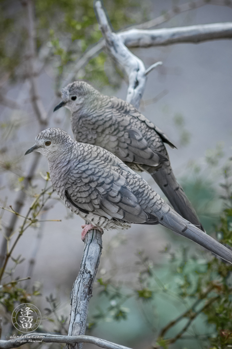 Pair of Inca doves (Columbina inca) sitting on a creosote branch.