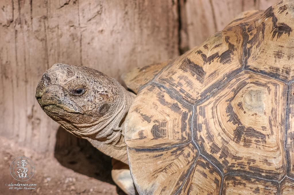 Leopard Tortoise (Stigmochelys pardalis) at Reid Park Zoo in Tucson, Arizona.