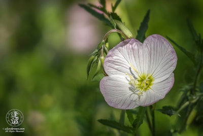Closeup of Oenothera speciosa flower sunlit against green background.