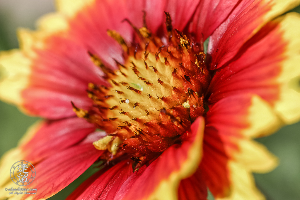 Closeup of red and yellow Blanket Flower (Gaillardia pulchella or Gaillardia aristata).