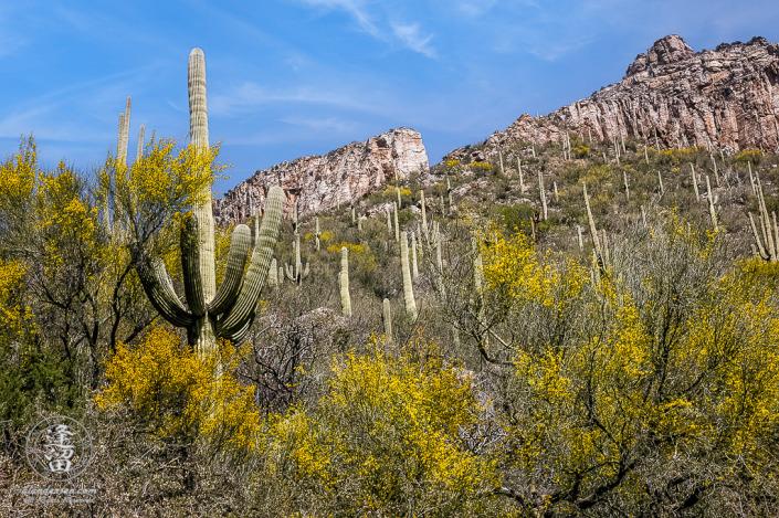 Desert landscape image of Saguaros, Palo Verdes, and cliffs in Sabino Canyon, Tucson, Arizona.