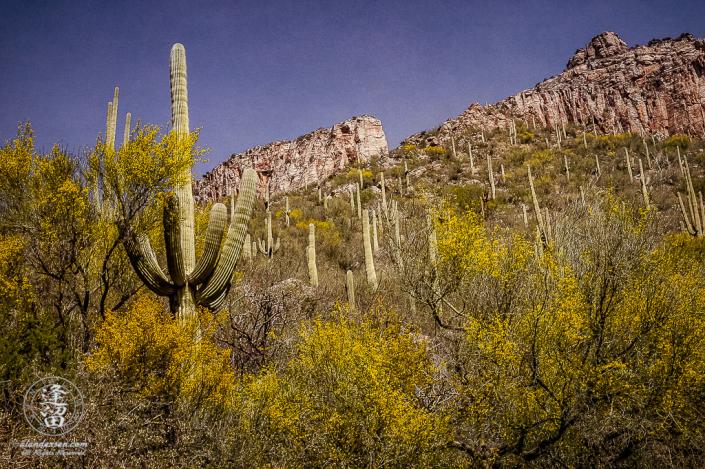 Textured desert landscape image of Saguaros, Palo Verdes, and cliffs in Sabino Canyon, Tucson, Arizona.