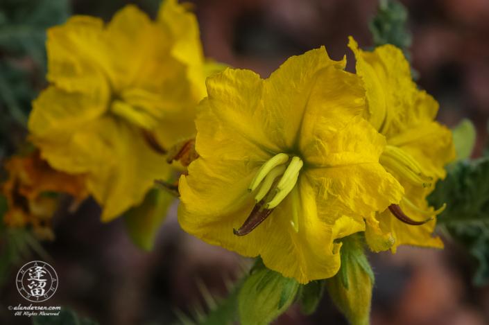 Closeup of Buffalo Bur (Solanum rostratum).