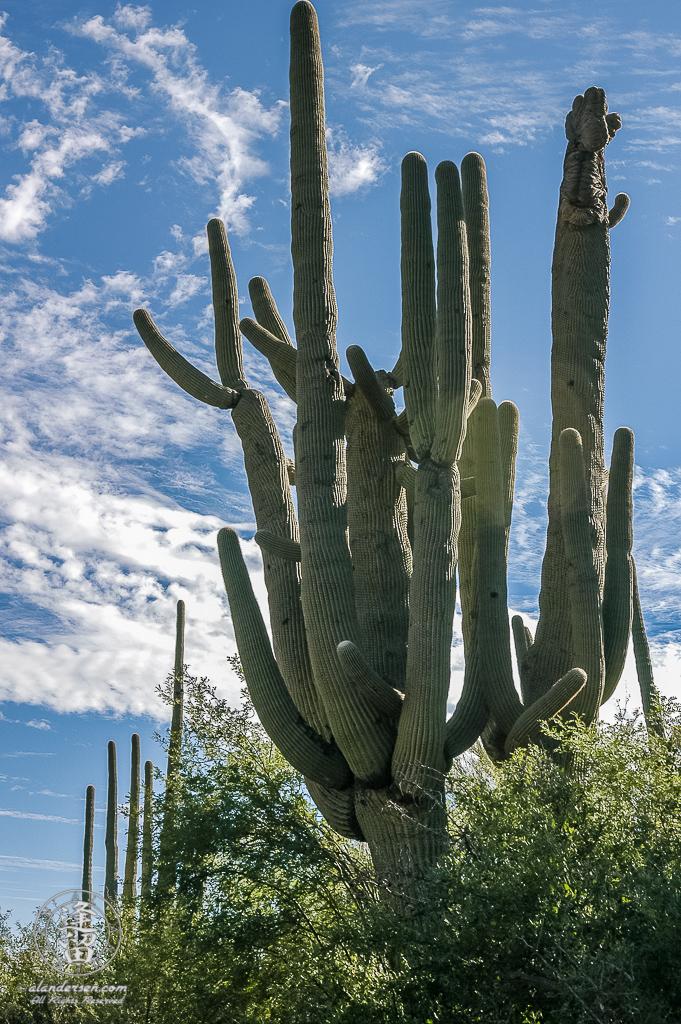 Saguaro (Carnegiea gigantea) cactus standing tall before deep blue sky.