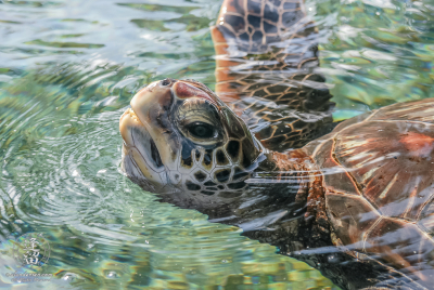 Green Sea Turtle (Chelonia mydas) pokes ihead out of water for breath of air.