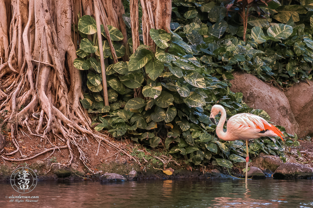 Flamingo dozing on one leg in lagoon near banyan tree.