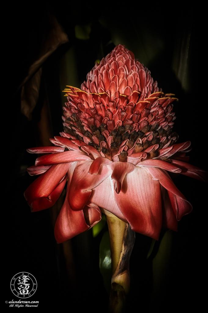 Torch Ginger (Etlingera elatior) flower head brightly lit against tropical background.