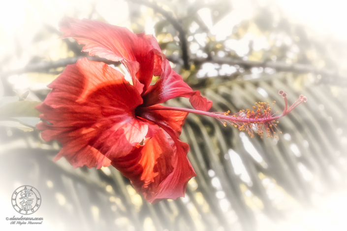 Red Hibiscus flower lit by dappled sunlight through palm fronds.