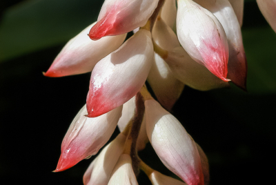 Hanging Shell Ginger (Alpinia zerumbet) flower cluster.