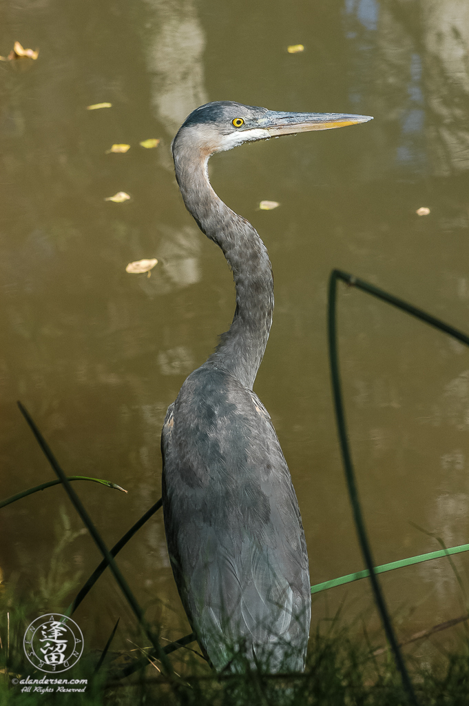 Great Blue Heron (Ardea herodias) standing amongst horsetails by river.