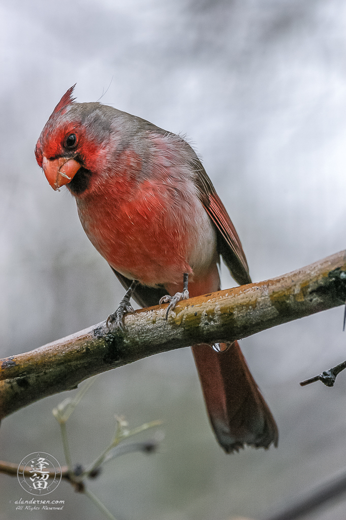 Northern Cardinal (Cardinalis cardinalis) perched on wet branch.