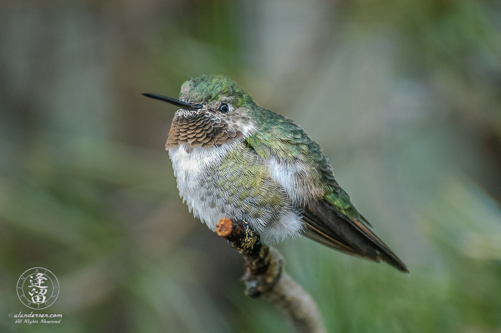 Broad-tailed Hummingbird (Selasphorus platycercus) perched on a branch.
