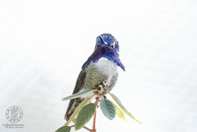 Male Costa's Hummingbird (Calypte costae) displaying his iridescent azure-blue gorget.