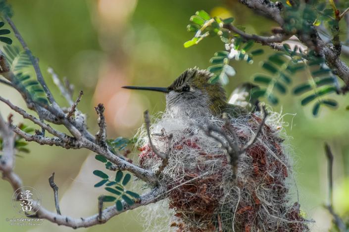 Female Broad-billed (Cynanthus latirostris) hummingbird nesting in mesquite tree.
