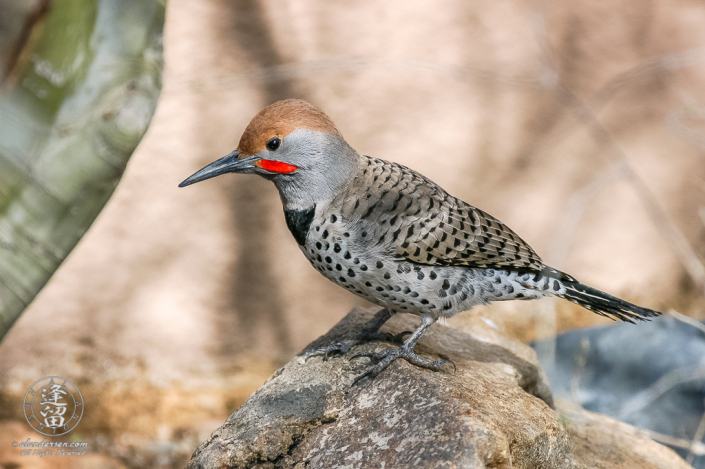 Northern Flicker standing atop a rock.