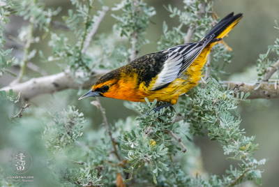 Male Bullock's Oriole (Icterus bullockii) posturing to protect its territory.