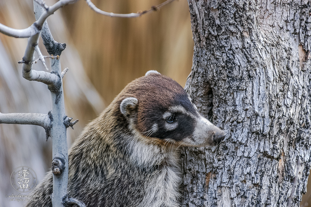 A White-nosed Coati (Nasua narica) preparing to climb tree.