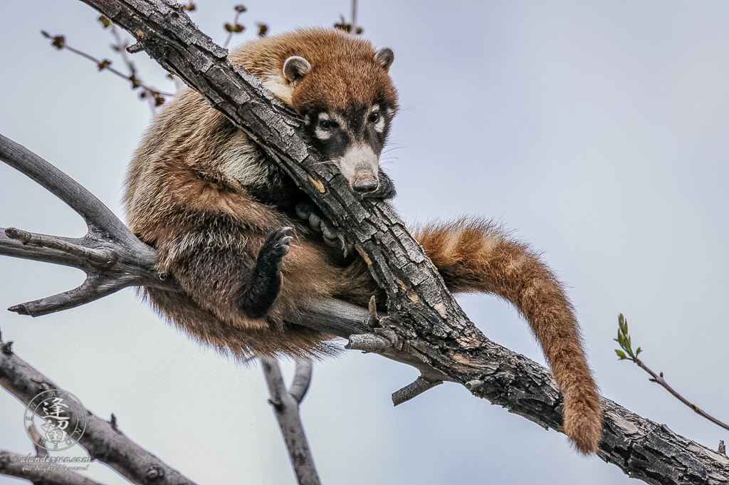 White-nosed Coati (Nasua narica) curled up in a tree.