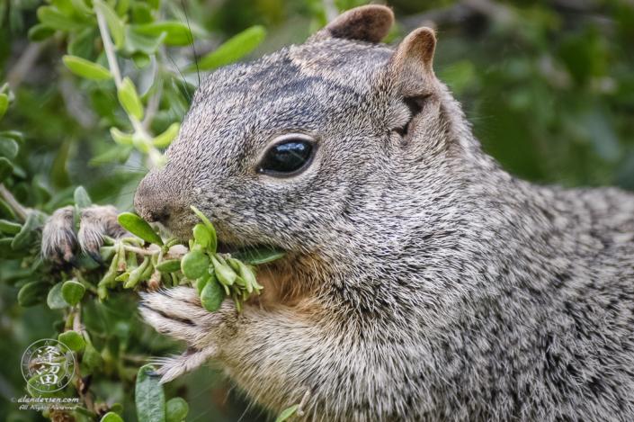 Gray Rock Squirrel (Spermophilius variegatus) munching on berries.