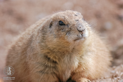 A Black-tailed Prairie Dog (Cynomys ludovicianus) laying down.
