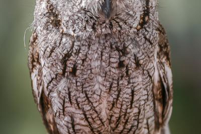 Whiskered Screech Owl (Megascops trichopsis) posing gloved hand.