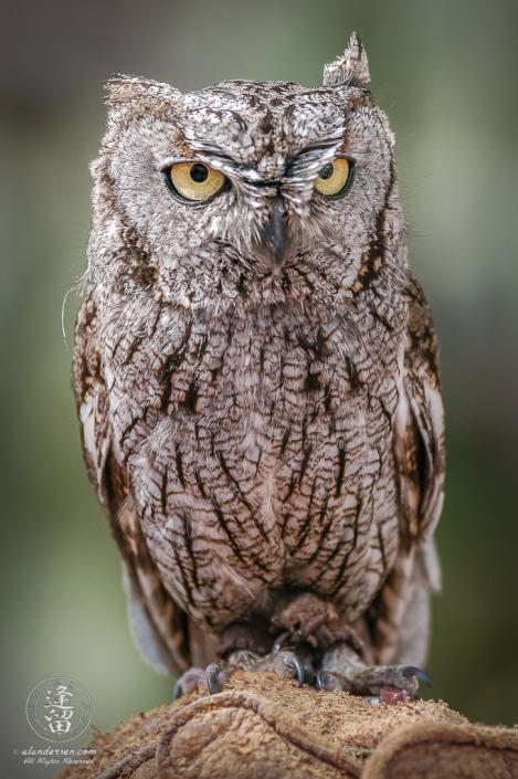 Whiskered Screech Owl (Megascops trichopsis) posing gloved hand.