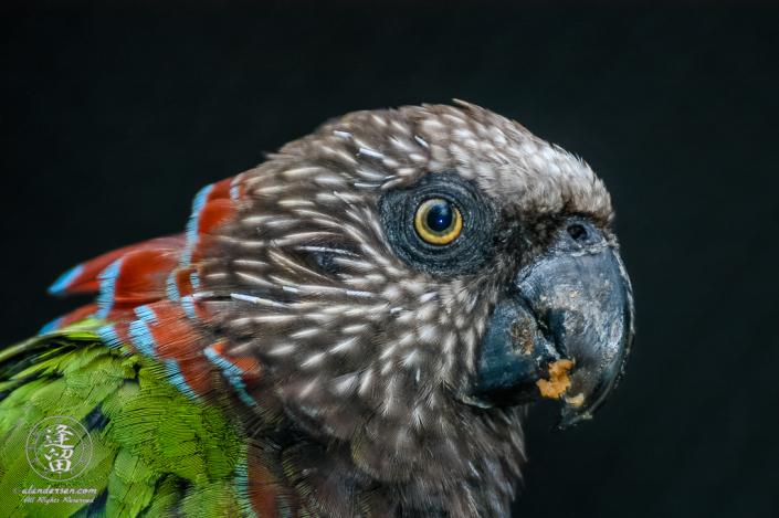 Hawk-headed Parrot (Deroptyus accipitrinus) portrait.