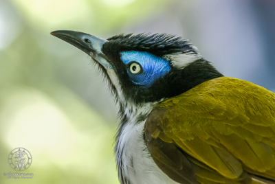Blue-faced Honeyeater (Entomyzon cyanotis) portrait.