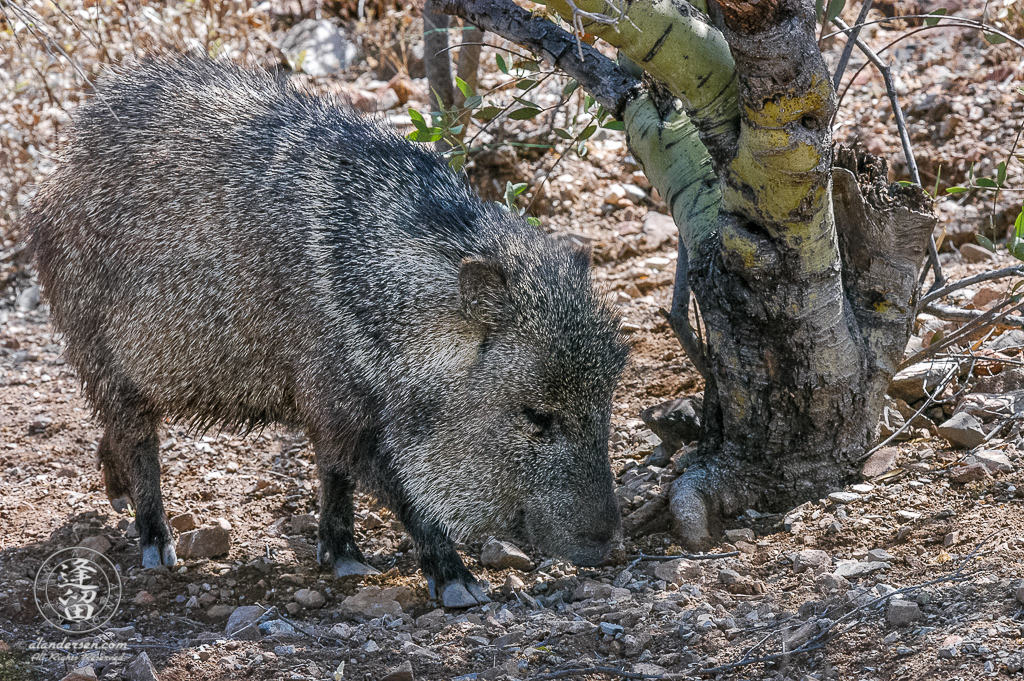 Collared Peccary (Pecari tajacu rooting under Palo Verde tree.