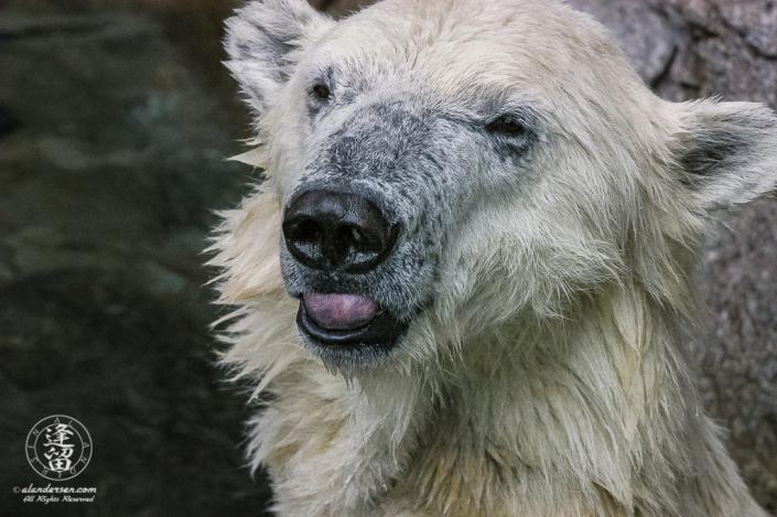 Kobe the Polar Bear (Ursus maritimus) smiling.