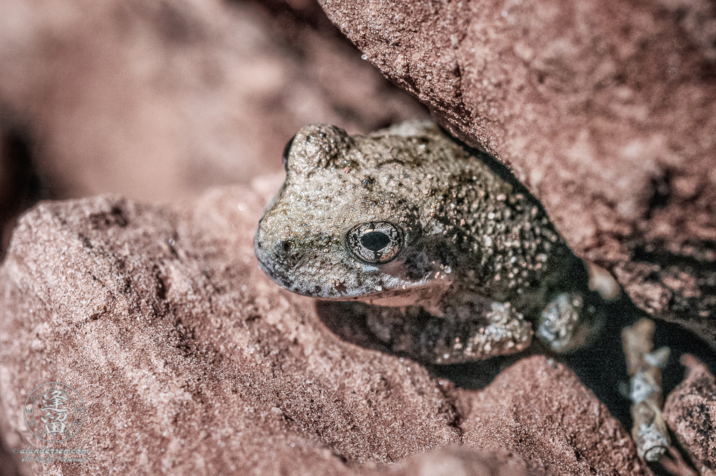 Tiny thumbnail-sized frog peering out from crevice in sandstone boulder at the Middle Emerald Pool , Zion National Park, Utah.