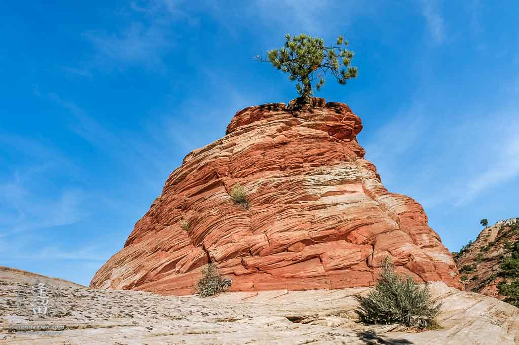 Stunted Ponderosa Pine growing out of red sandstone.