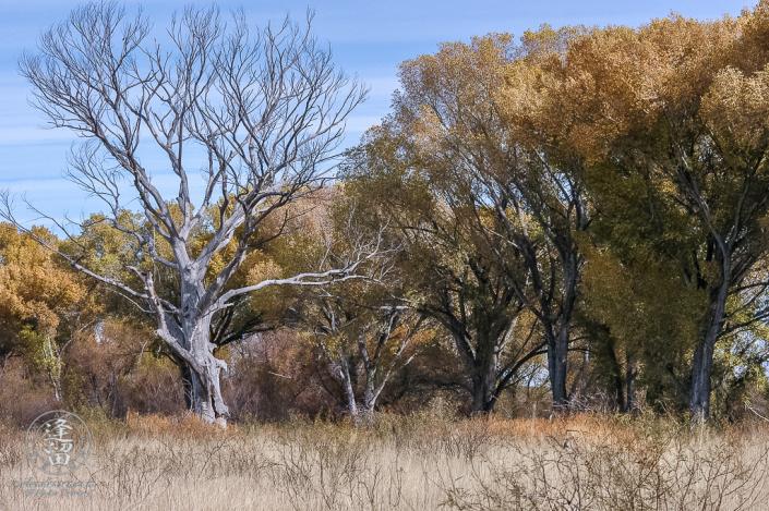 Satiny grey dead Cottonwood tree.