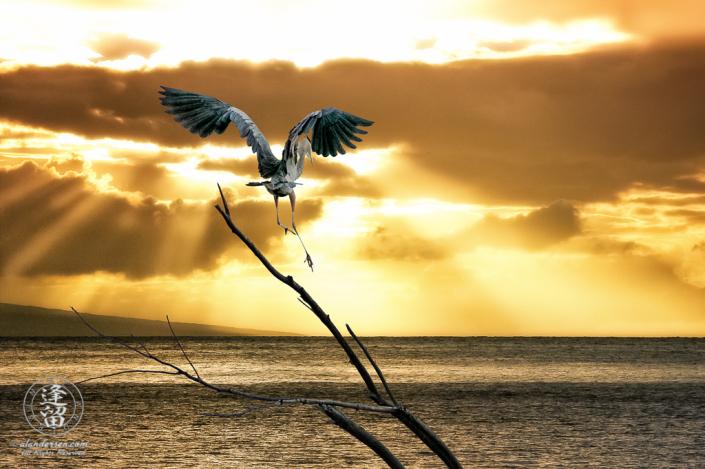 Great Blue Heron (Ardea herodias) landing on branch during Hawaiian ocean sunset.