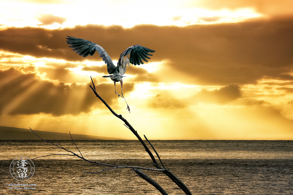 Great Blue Heron (Ardea herodias) landing on branch during Hawaiian ocean sunset.
