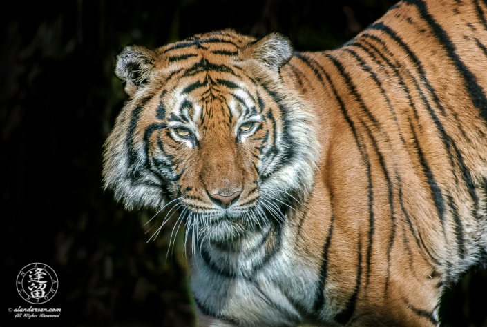 Malayan Tiger (Panthera tigris jacksoni) standing in bright sunlight.
